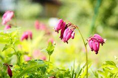 Puolivarjossa viihtyvä ja lähes koko kesän kukkiva pikkusydän on hyvä peittokasvi. Kuva: Riikka Heiskanen