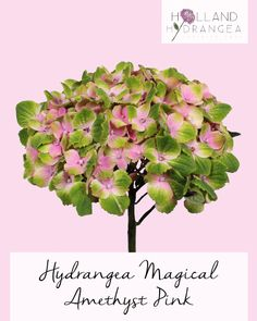 Holland Hydrangea - Our Range | Quality Dutch Grown Hydrangeas | Visit our website for more information www.holland-hydrangea.com
