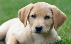 America's Favorite Dog Breeds: Labrador Retrievers Top the List (Again! Beautiful Dog Pictures, Most Beautiful Dogs, Agility Training For Dogs, Training Your Dog, Training Tips, Labrador Retrievers, Retriever Puppy, Puppy Trainer, Petit Basset Griffon Vendeen