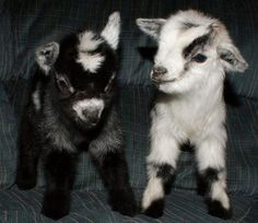 I will love anyone who gives me a baby goat for my birthday present. hint. hint.