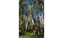 Top 10 Aboriginal bush medicines_image7 - Australian Geographic