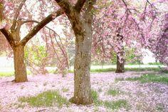 Cherry Blossoms Falling in Central Park.    Okej..ehm kungsträdgården känns rätt liten i jämförelse.
