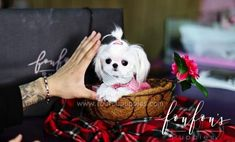 Welcome to FouFou Puppies. The Home of the World's Most Exquisite Teacup Maltese for Sale. Contact Us Today to Reserve Your Puppy! Ask for Our 'Special Order' Option. We Can Locate Your Dream Puppy! Micro Maltese, Teacup Maltese For Sale, Maltese Puppies For Sale, Teacup Chihuahua Puppies, Fluffy Puppies, Maltese Dogs, Little Puppies, Baby Puppies, Baby Cats