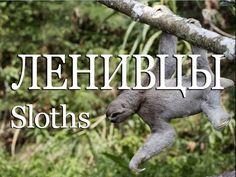 Ленивцы — Sloths