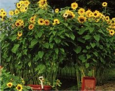 What child wouldn't LOVE a private hideaway ... with sunflowers for a roof? They can help with the planting and growing, and then enjoy playing (and even a snack!)