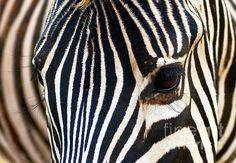 Title: Zebra Vibrations. Artist: Studio Lupica. Medium: Photograph - #Photography
