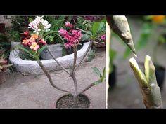 Plumeria Care, Plumeria Flowers, Desert Rose Care, Flower Garden Design, Amazing Gardens, Garden Plants, Hibiscus, Gardening Tips, Exterior