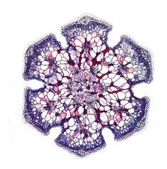 Casuarina equisetifolia,
