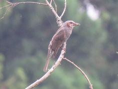 brown-eared bulbul. 4 July 2016