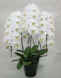 [Visit to Buy] 100 PCS Unique Butterfly Orchid Seeds Balcony Ornamental Plants Bonsai Plant Phalaenopsis Bonsai plant DIY home & garden seeds Moth Orchid, Orchid Plants, Orchid Care, Exotic Flowers, Beautiful Flowers, Orchid Seeds, Dendrobium Orchids, Orchids Garden, Bonsai Plants