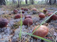 Getting Your Mushrooms to Bud Can Be the Key to Growing Mushrooms Growing Mushrooms, Wild Mushrooms, Stuffed Mushrooms, Mushroom Spores, Mushroom Cultivation, Household Plants, Mushroom Hunting, Outdoor Plants, Kraut