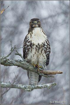 Red-tailed Hawk by Earl Reinink
