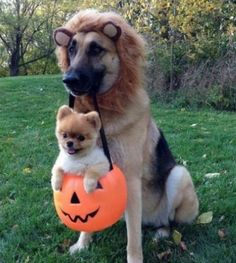 Halloween dog costume - cuteness overload!