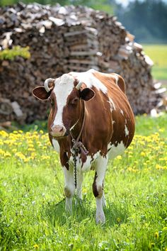 Cute Cow in the Meadow