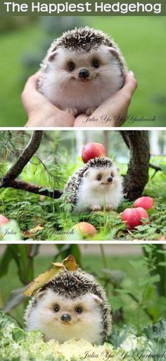 The Happiest Hedgehog cute animals adorable animal pets baby animals hedgehog funny animals #babyhedgehogs
