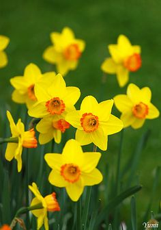 Latin Name: Narcissum;  Common Name: Daffodil;  Type: bulb;  Warning: poisonous