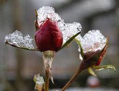 Výsledek obrázku pro růže v zimě