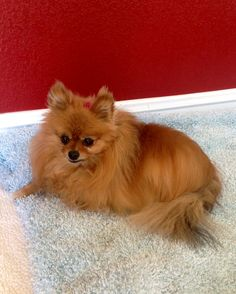 I love being a Pommy Mommy, so I decided to put together these 10 facts about Pomeranians to help in your decision making on becoming a parent to a new Pomeranian or Pomeranians. 1. Good Watch Dog's If someone comes into your home, let alone just passes...