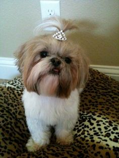 Princess Sophie Shih tzu by patrica