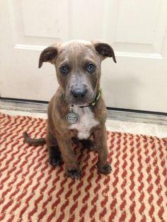pitbull mix puppy