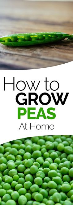learn how to grow peas in your garden at home. These vegetable gardening tips for peas will have you growing them in no time.