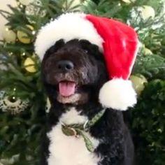 Bo Obama Inspects White House Christmas Decor