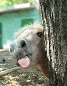 horse sticking its tongue out, funny animal pictures