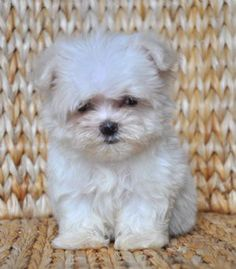 Maltese His face remind me on an Ewalk from the Star Wars Movies. :)