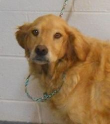 No longer available. Max is an adoptable Golden Retriever Dog in Roanoke, VA. The Regional Center for Animal Control & Protection is working with many rescue groups, including the Roanoke Valley SPCA, to save the lives of...