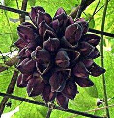 rare black plant | RARE BLACK JADE VINE! ASIAN MUCUNA NIGRICANS PLANT Strange Flowers, Dark Flowers, Green Flowers, Beautiful Flowers, Unique Plants, Exotic Plants, All Plants, Gothic Garden, Witchy Garden