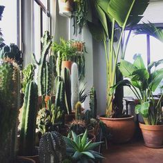 "9,849 Likes, 80 Comments - Urban Jungle Bloggers™ (@urbanjungleblog) on Instagram: ""Bergen stopped counting at 100. How many plants are living with you? 🌵🌿🍀🌱🌴 📷:@gengolde…"""