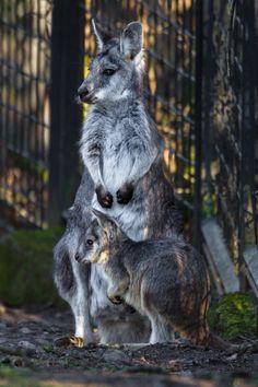 Nový přírůstek #klokan #zoo #praha