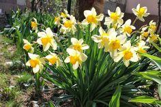Um jardim para cuidar:  Narcisos