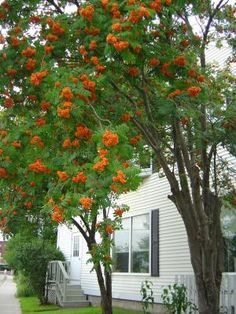 American Mountainash tree (sorbus americana): Great fruit for wildlife: berries are red, orange, or white. Considered a small-to-mid sized tree. Hardiness Zones=2-5; Height=30'; Sun=Full; Soil Moisture=Average