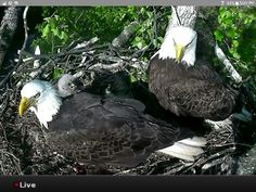 Mr. and Mrs. President with dc2 and dc3 eaglets in Washington DC ARBORETUM