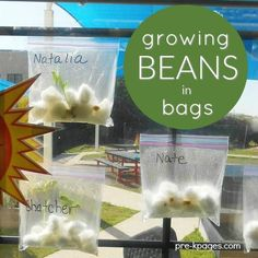 """Growing Beans in Ziploc bags is a classic """"must-do"""" activity for preschool and kindergarten kids. Learn how to successfully plant and sprout lima beans in baggies at home or in the classroom. #homeschoolingfortoddlerslessonplans"""