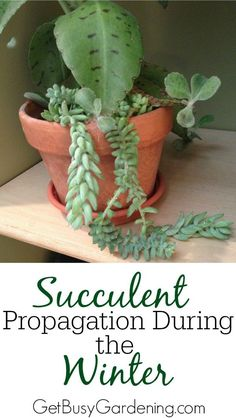 super easy to propagate succulent plants during the summer but much more challanging during the winter. I have a fun experiment for you (and it's kind of addicting! Check out my easy method for Succulent Propagation During The Winter Types Of Succulents, Cacti And Succulents, Planting Succulents, Garden Plants, House Plants, Planting Flowers, Rockery Garden, Xeriscaping, Succulent Gardening
