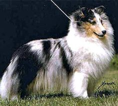 Pretty close to what my old dog Phoebe looked like. My next collie will be named Shania