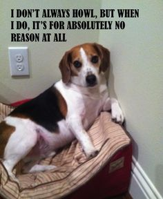 the most interesting dog in the world... #dosequisman #beagle