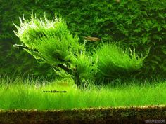 Vesicularia reticulata. Erect Moss.
