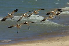 American Avocets ~ Recurvirostra americana ~ Lake Michigan