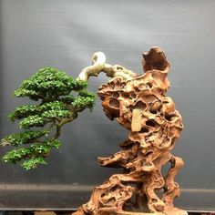 Han Kengai (semi cascade) Bonsai style.      The semi-cascade style, just like the cascade style, is found in nature on cliffs and on the banks of rivers and lakes. The trunk grows upright for a small distance and then bends downwards/sidewards. Unlike the cascade style, the semi-cascade trunk will never grow below the bottom of the pot.