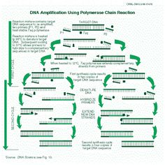 The polymerase chain reaction (PCR) is a test tube version of the same DNA replication process found in the living cell. Science For Kids, Life Science, Science Fair, Dna Replication Process, Biology Classroom, Human Anatomy And Physiology, Chain Reaction, School Study Tips, Biochemistry