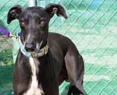 Ligero (M) AVAILABLE GALGOS — Galgos del Sol.  Will do better with female dogs