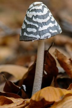 Magpie fungus (Coprinopsis picacea). Photograph by Canberk Ozturk on Flickr