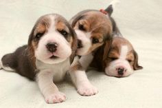"""Beagle puppies having fun. * * PUP IN MIDDLE: """" WUT'S ' FUN ' MEAN? SAGGY IZ SLEEPIN' AND YER PRE- OCCUPIED."""""""