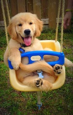 5 cutest smiling puppy faces you have ever seen Golden Retriever Puppy in Swing Seat Cute Baby Animals, Animals And Pets, Funny Animals, Cute Puppies, Cute Dogs, Dogs And Puppies, Doggies, Vizsla Puppies, Golden Retrievers