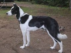 "The smooth coated border collie will be our next ""big"" dog. Once we move to our forever home."
