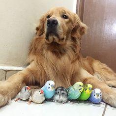 ハムスターとゴールデンレトリバーと鳥が一緒に生活した結果wwwwwwww