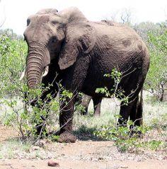 Elephant feeding on marula near Oliphants in the Kruger Park South Africa, Watermelon, Summertime, Exotic, Elephant, Tea, Park, Animals, Animales